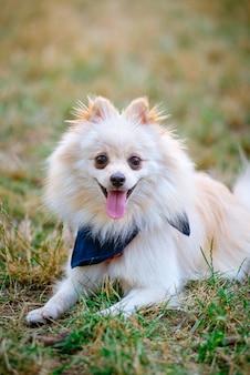 Portrait de chien spitz japonais de race pure à l'extérieur