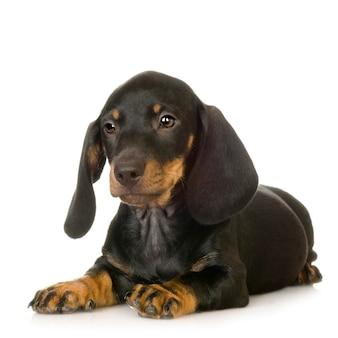 Portrait de chien teckel isolé