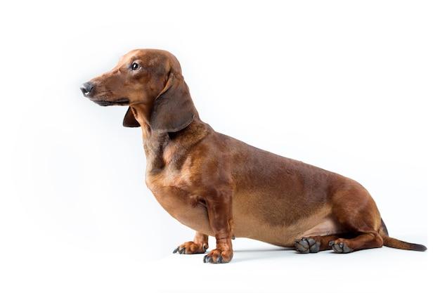 Portrait de chien teckel rouge isolé sur fond blanc