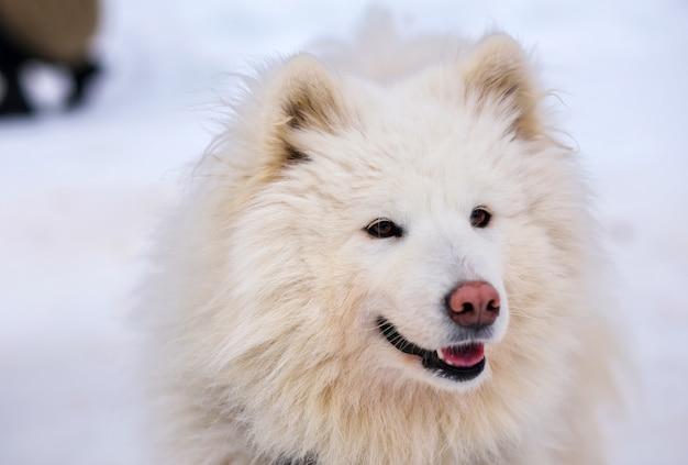 Portrait de chien de traîneau husky de sport. chiens de traîneau de travail du nord.
