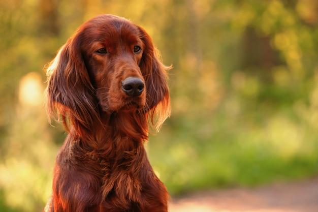 Portrait de chien sur vert. en plein air.