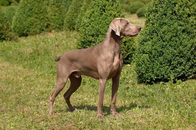 Portrait de chien weimaraner
