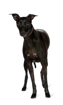 Portrait de chien whippet isolé