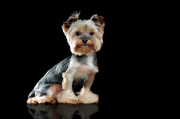 Portrait d'un chien yorkie assis dans un noir