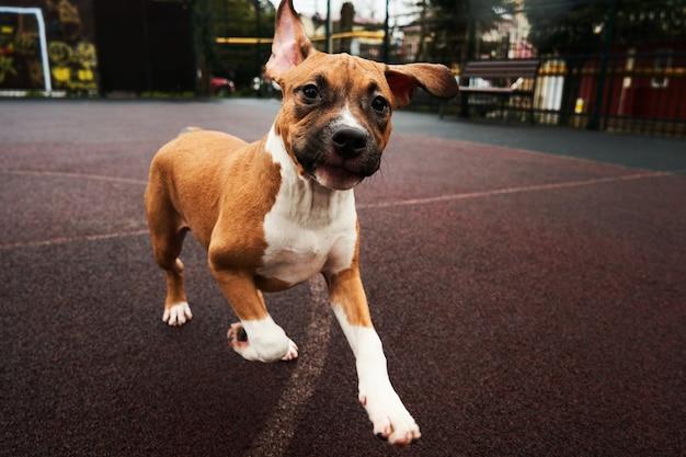 Portrait de chiot american staffordshire terrier. chien heureux courant pour une promenade