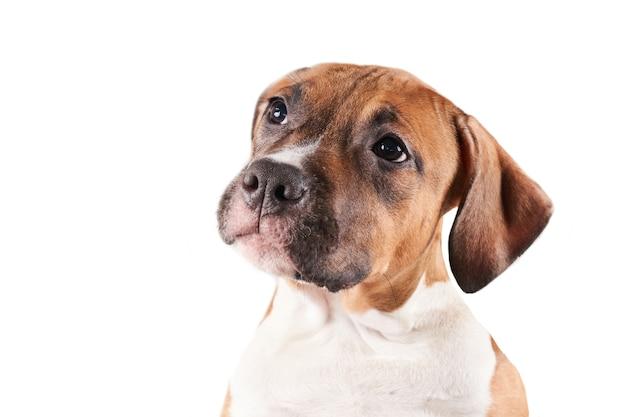 Portrait de chiot american staffordshire terrier isolé sur fond blanc. gros plan de museau de chien en studio