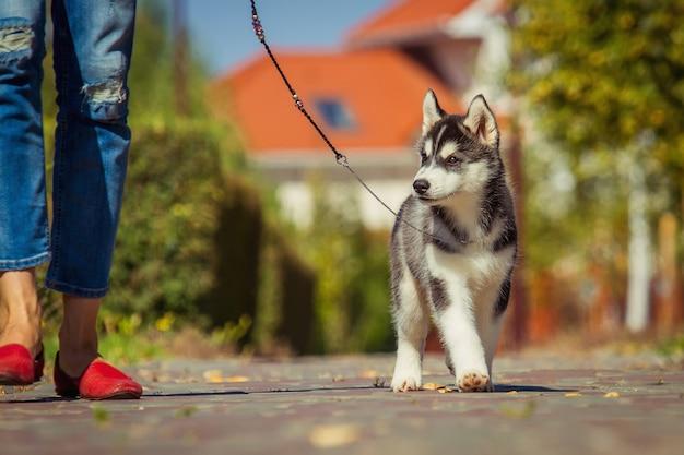 Portrait d'un chiot husky sibérien marchant dans la cour