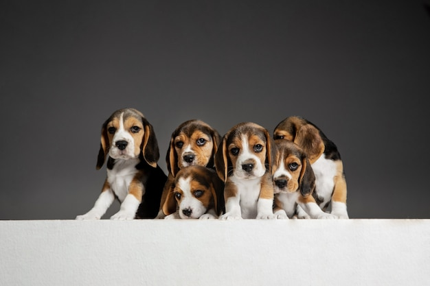 Portrait de chiots beagle sur gris