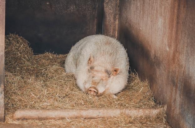Portrait d'un cochon dormant dans sa ferme. animal