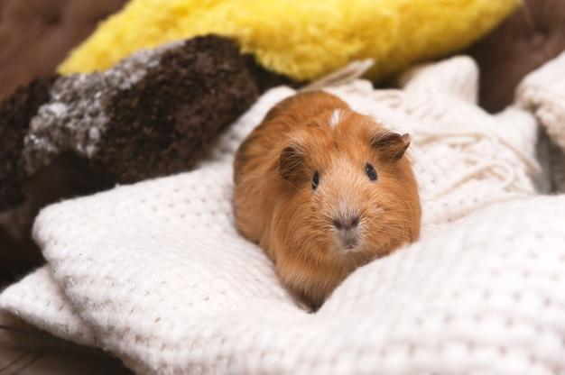 Portrait de cochon d'inde rouge.