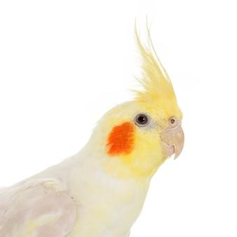 Portrait de cockatiel