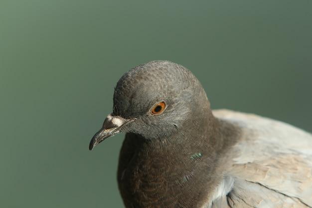 Portrait d'une colombe grise sur fond vert