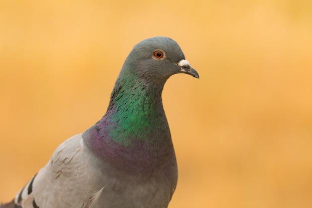 Portrait d'une colombe sauvage avec de belles plumes
