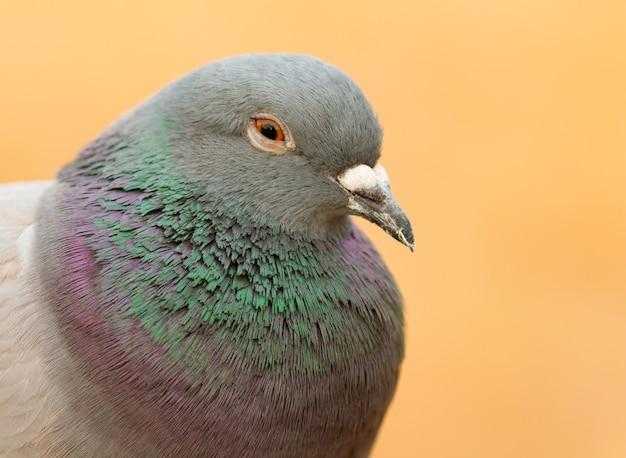 Portrait d'une colombe sauvage