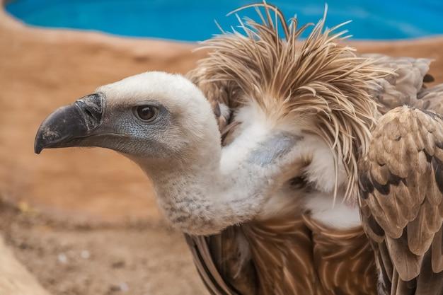 Portrait de condor