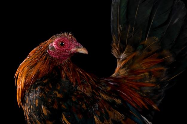 Portrait de coq isolé sur fond noir noir