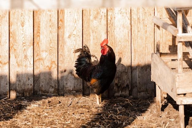 Portrait de coq phénix doré avec groupe de poules domestiques se nourrissant à la ferme