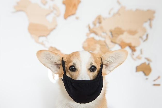 Portrait de corgi gallois au masque noir.