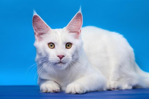 Portrait de couleur blanche femelle american coon cat looking at camera allongé sur fond bleu