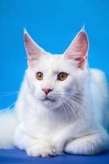 Portrait de couleur blanche femelle american longhair cat animal affectueux allongé sur fond bleu