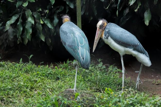 Portrait de couple cigogne marabout