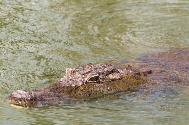 Portrait d'un crocodile flottant lac baringo kenya afrique