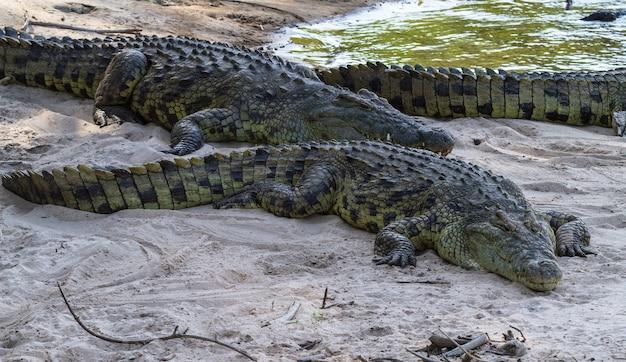 Portrait de crocodile sur les rives de la rivière grumeti. tanzanie