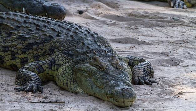 Portrait de crocodile sur les rives de la rivière grumeti.