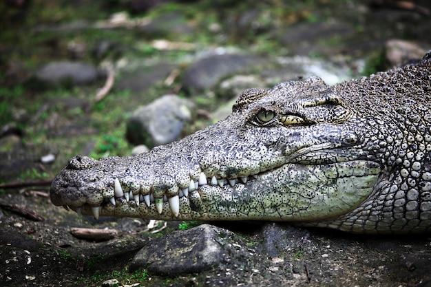 Portrait de crocodile