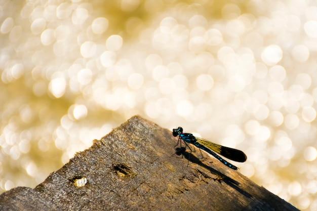 Portrait de demoiselle - joyau bleu commun (rhinocypha perforata perforata) en bois à la cascade