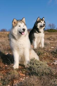 Portrait de deux chiens de l'alaska malamute