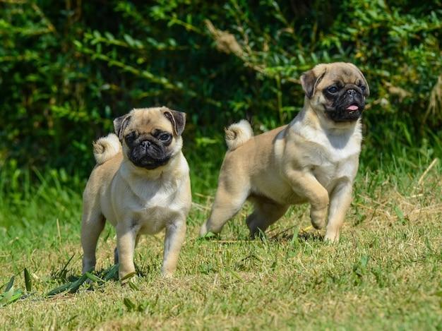 Portrait de deux chiens carlin.