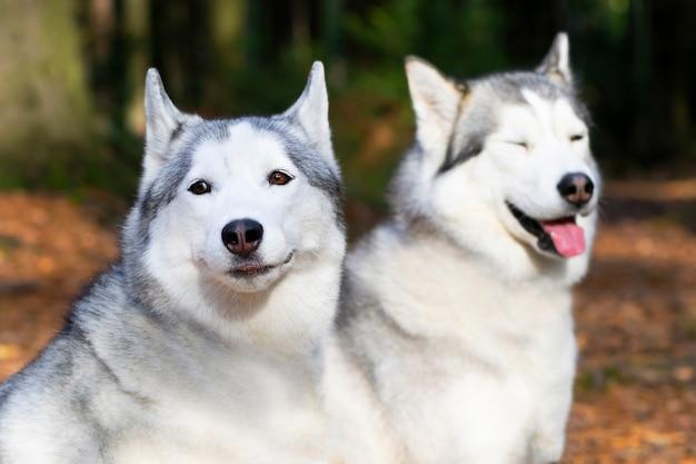 Portrait de deux chiens heureux, race husky sur fond de forêt.