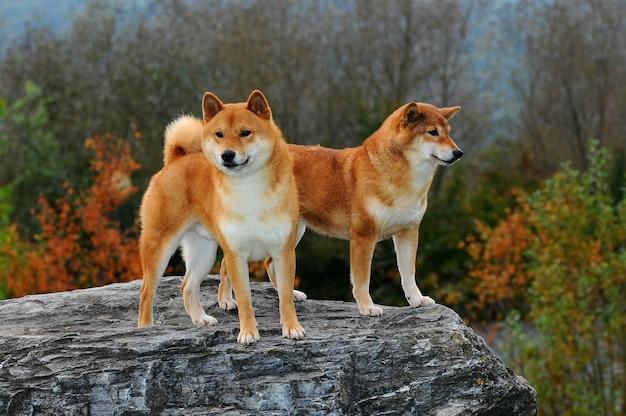 Portrait de deux chiens shiba
