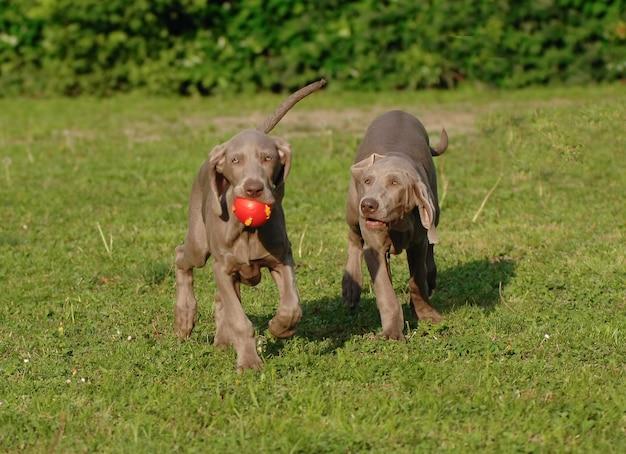 Portrait de deux chiens weimaraner