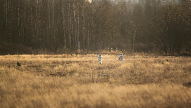 Portrait deux gros chien bâtard noir mignon marchant sur la prairie d'automne