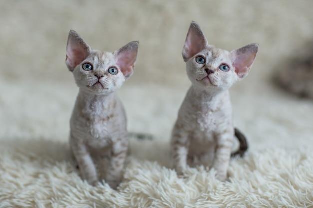 Portrait de deux petits chatons devon rex
