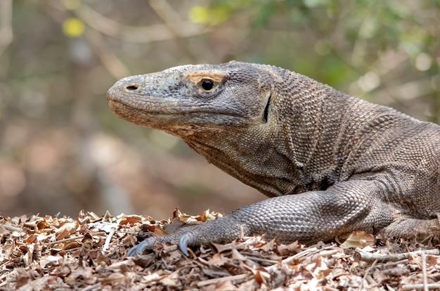 Portrait de dragon de komodo. île de komodo. indonésie