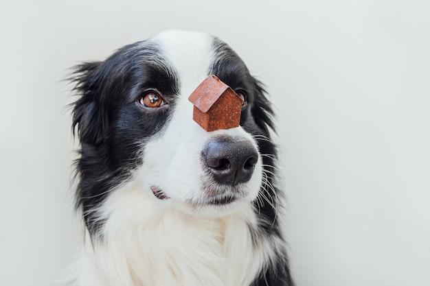 Portrait drôle de chien chiot mignon border collie tenant maison modèle jouet miniature sur le nez, isolé sur blanc