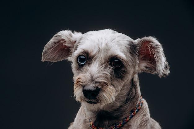 Portrait d'un drôle de chien gris aux yeux multicolores