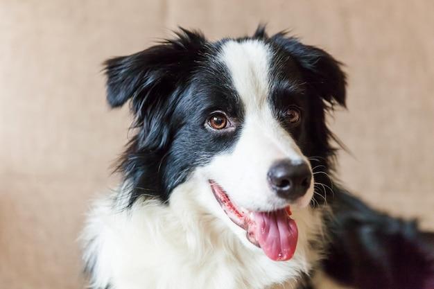 Portrait drôle de mignon chiot chien border collie souriant sur canapé. nouveau membre charmant de la famille petit chien à la maison regardant et attendant. concept de soins pour animaux et animaux.