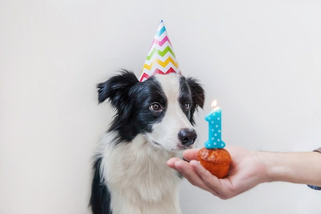 Portrait drôle de mignon chiot chien border collie souriant portant un chapeau idiot d'anniversaire en regardant le gâteau de vacances cupcake avec la bougie numéro un isolé sur le mur blanc. concept de fête de joyeux anniversaire.