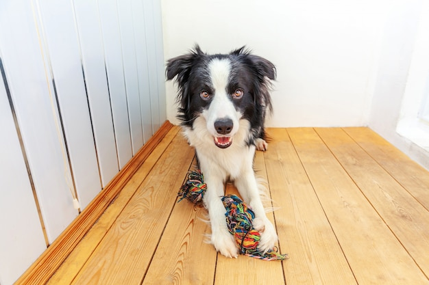 Portrait drôle de mignon chiot chien border collie souriant tenant un jouet de corde colorée dans la bouche. nouveau membre charmant de la famille petit chien à la maison jouant avec le propriétaire. concept de soins et animaux pour animaux de compagnie.