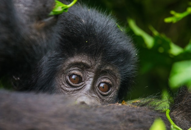 Portrait du bébé gorille de montagne. ouganda. parc national de la forêt impénétrable de bwindi.