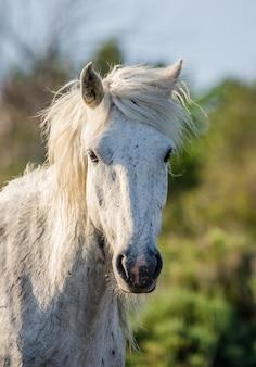 Portrait du cheval blanc de camargue
