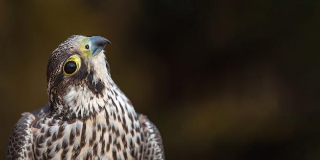 Portrait du faucon pèlerin, falco peregrinus