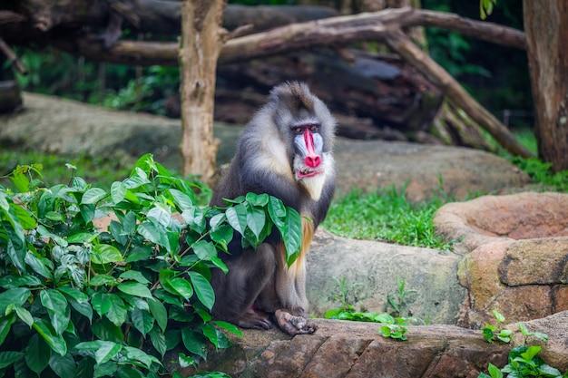 Portrait du mandrill mâle adulte