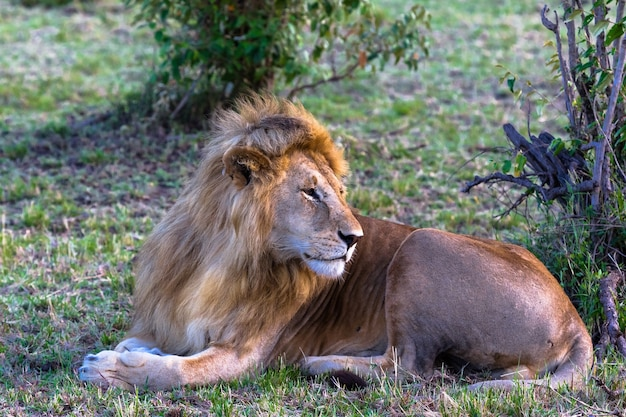 Portrait du roi du masaï mara détente sur l'herbe kenya afrique