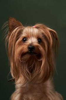 Portrait du yorkshire terrier, gros plan. mignon chiot yorkshire terrier posant sur un fond vert.