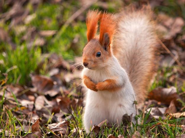 Portrait d'écureuil sur l'herbe